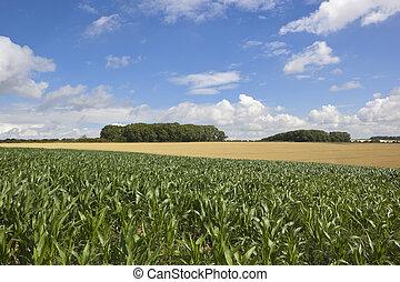 summer maize crop