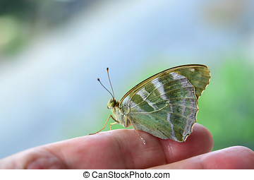 Butterfly - Argynnis paphia female - Silver-washed...