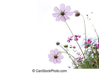 wild flower - pink wild flower against white background