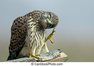 The Monday morning Kestrel... - Monday morning... or The...