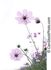 wildflower on white background, shallow depth of field