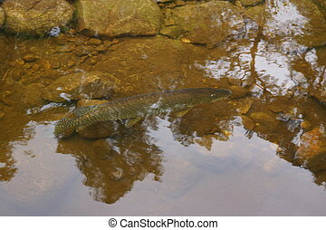 Northern Pike - Esox lucius in Loch Ness - Large Northern...