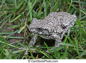 Gray Tree Frog in Grass - A Gray Tree Frog Hyla versicolor...