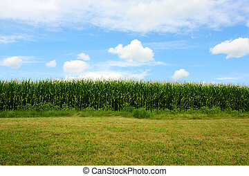 Cornfield in Summer - a stretch of sweet cornfield and green...