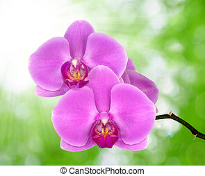 purple orchid  - Beautiful purple orchid on green background
