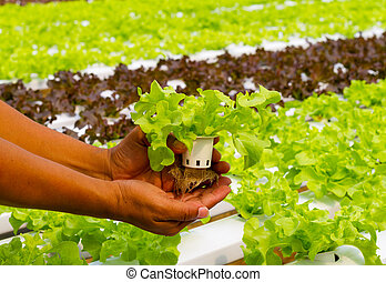 Hydroponic vegetable on hand in a garden
