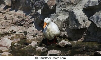 Duck - White Duck in a brook