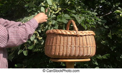 picking linden tree medical blossom - picking fresh linden...