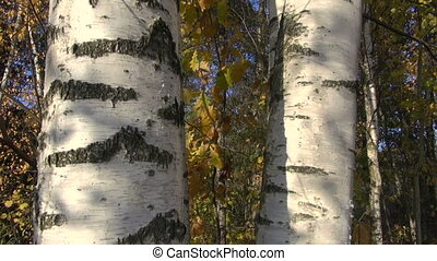 golden autumn birch tree trunk