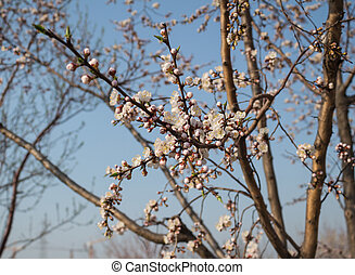 Apricot blossom - Apricot is a famous Chinese ornamental...