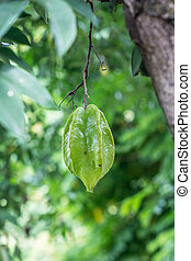 Star Fruit - Star fruit and blossom on tree.