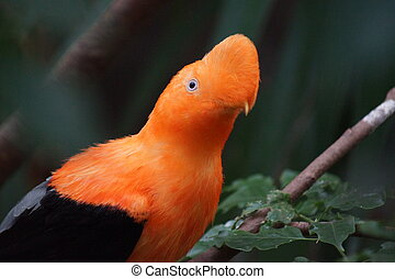 Andean Cock-of-the-Rock - Rupicola peruvianus - A Vibrant...