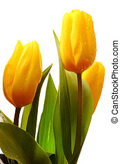 Three yellow spring tulips