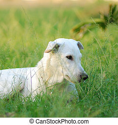 white dog - One white dog on grass field