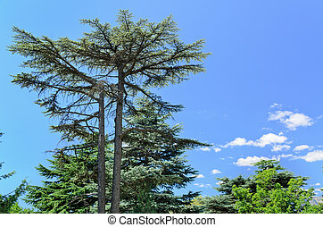 Majestic evergreen pine tree towering above other woodland...