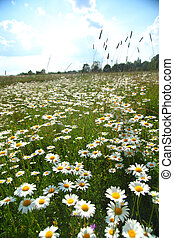 camomiles summer field