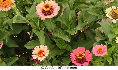 zinnia flowers - several zinnia flowers in a suburban garden