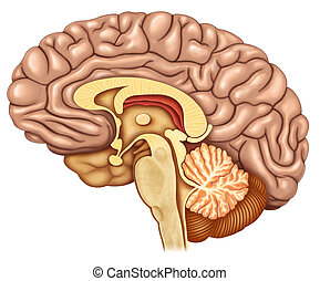 Dissected brain lateral view - Illustration brain dissection...