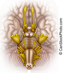 brainstem - bottom view illustration with brain stem with...