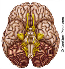 Bottom view of the brain - Illustration lower brain where...
