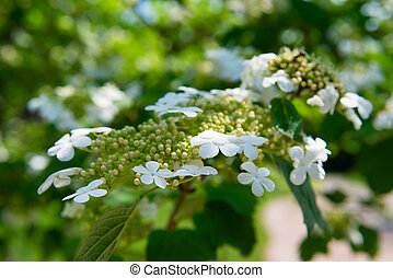 Arrowwood (Viburnum) flowers on green branch in a garden