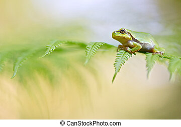 European tree frog new life, a young Hyla arborea between a...