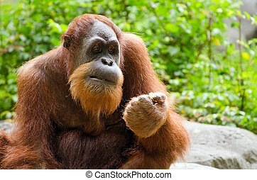 Portrait of adult orangutan Pongo pygmaeus