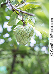 Custard apples - ustard apples growing on a tree