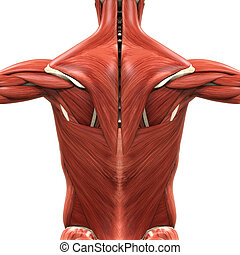 Muscular Anatomy of the Back - Illustration of Muscular...