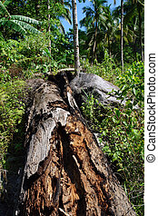 Decomposing tree in rain forest - Rotting or decomposing...