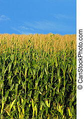 farm and country landscape of corn - beautiful farm and...