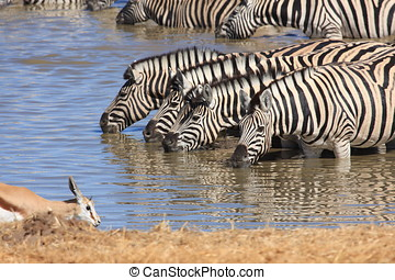 Zebras at the Waterhole - zebras at the waterhole