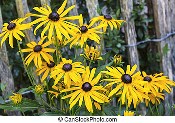 Group of yellow Rudbeckia flowers in front of a fence
