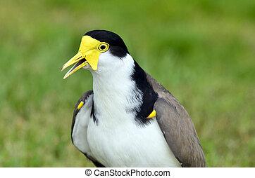 鳥, -, 戴面具, Lapwing