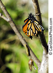 Monarch Butterfly on a Milkweed Mania, baby born in the...