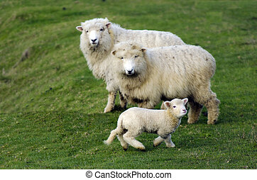 New Zealand Perendale Sheep - Family of Perendale Sheep.It's...