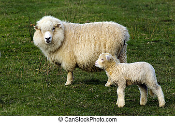 New Zealand Perendale Sheep - Perendale Sheep and her...