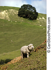 New Zealand Perendale Sheep - Perendale Sheep The Perendale...