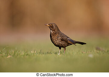 Blackbird, Turdus merula, female on grass, Scotland, spring...