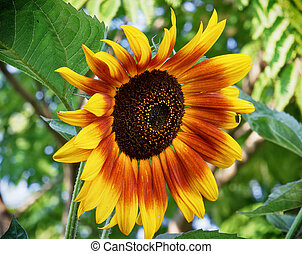Big sunflower blooming in summer - Big yellow sunflower...