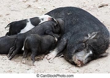Vietnamese pig with piglets (Sus bucculentus).