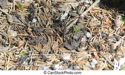 black ants on a hill