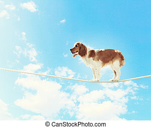 Dog balancing on rope - Image of spaniel dog balancing on...