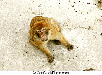Barbary Ape - A cute little ape that was too irresistable to...