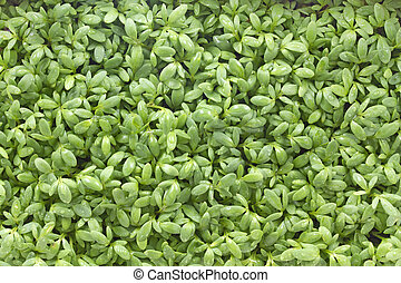 Young cress seedlings as background - Young cress seedlings,...