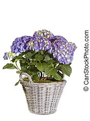 Purple Hydrangea flower in a pot on white background