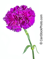 Carnation flower Dianthus on white background - Single...