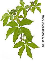 Ivy Parthenocissus tricuspidata on white background in...