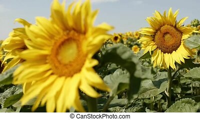 Sunflower - sunflower on a summer day