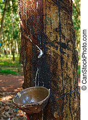 plantations of rubber trees - rubber tree and a cup of milk...
